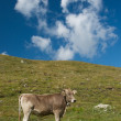 Royalty-Free Stock Photo: Grazing cows in the swiss alps