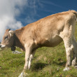 Grazing cows in the swiss alps — Stock Photo