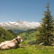 Stock Photo: Resting cow in alpine landscape