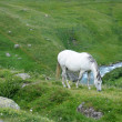 Grazing white horse in the swiss alps - Stock Photo