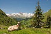 Alp peyzaj istirahat inek — Stok fotoğraf