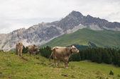 Krávy ve švýcarských alpách — Stock fotografie