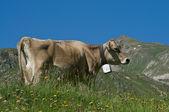 Kuh im alpinen landschaft — Stockfoto