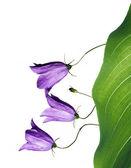 Beautiful purple flowers against white background — Stock Photo