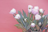 White tulips against red background — Stock Photo