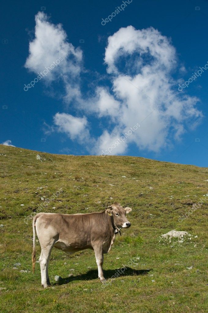 Grazing cows in the swiss alps — Stock Photo #9956032