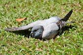 Suntanning pigeon — Stock Photo