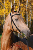 Purebred arabian racehorse — Stock Photo