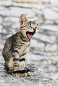 Furious cat — Stock Photo