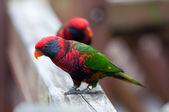 Kolorowe papugi — Zdjęcie stockowe