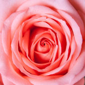 Close up of rose — Stock Photo