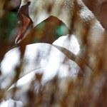 Free swan scene — Stock Photo #10565569