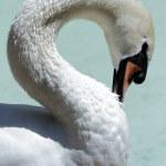 Free swan scene — Stock Photo