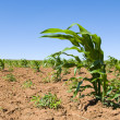 Young corn crop — Stock Photo #9789624