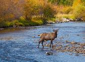 麋鹿在流中 — 图库照片