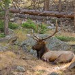Bull Elk Napping — Stock Photo
