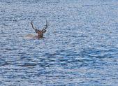 Bull elk plavání — Stock fotografie