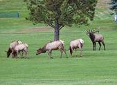 Elk Herd on Golf Course — Stock Photo