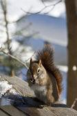 Wiewiórka jedzenie nasion — Zdjęcie stockowe