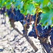 Grape Vines — Stock Photo #9895602