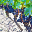 Stock Photo: Grape Vines