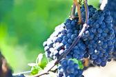 Wine Grapes — Stock Photo