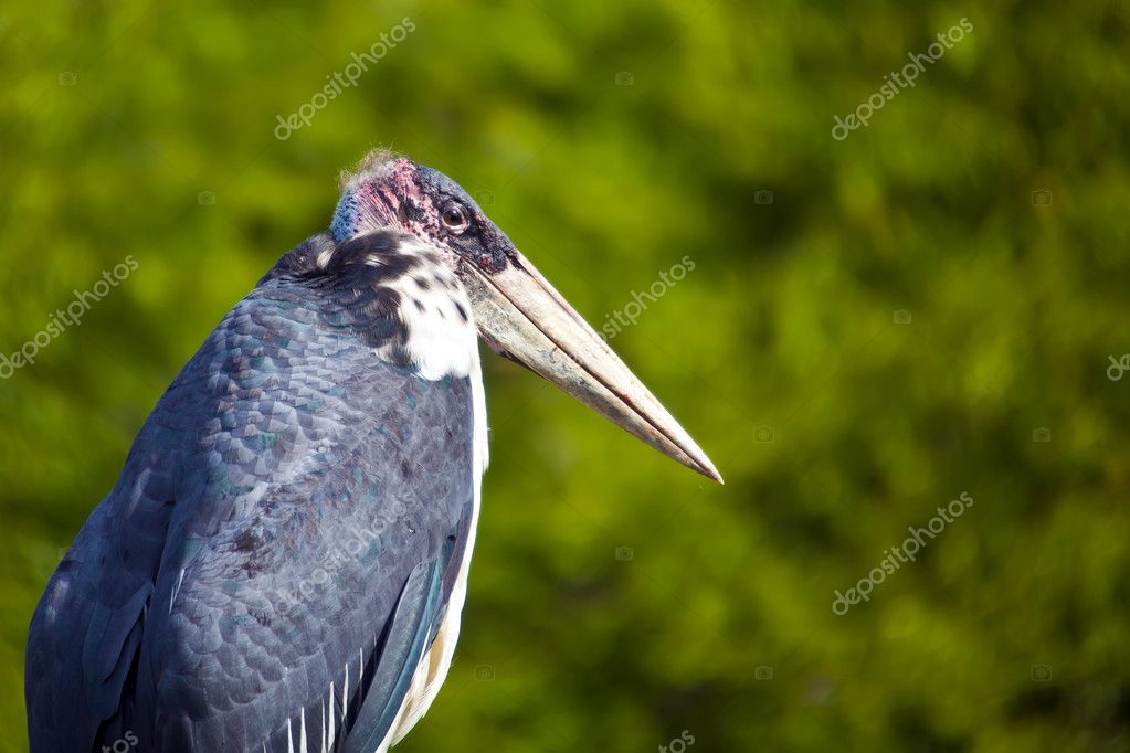 A protrait of a Marabour Stork, a scavenger bird native of Africa. — Stock Photo #9895501