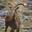 Goat on the Plain — Stock Photo #9963333