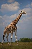 Giraffe Roaming — Stock Photo
