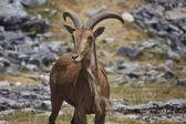 Goat on the Plain — Stock Photo