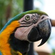 Big ara parrot — Stock Photo