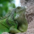 Iguana on rock - Stock Photo