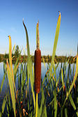 Green bulrush — Stockfoto
