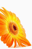 Side view of an orange sunflower — Stock Photo