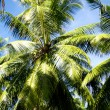 Stock Photo: Coco palms