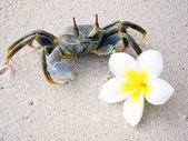 Frangipani flower and Crab — Stock Photo
