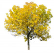 Tree isolated on white background — Stock Photo #9853993