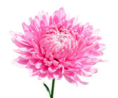 Chrysanthemum isolated on white background — Stock Photo