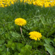 Stock Photo: Two dandelions