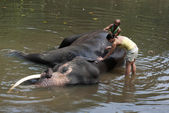 Volunteer & Mahout Washing Elephant — Stock Photo