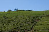 Tea Plantation — Photo
