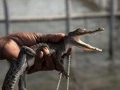 Piccolo coccodrillo — Foto Stock
