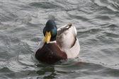 A swiming mallard — Stock Photo