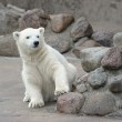 Little polar bear — Stock Photo