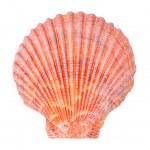Постер, плакат: Sea shell