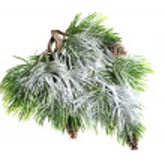 Christmas evergreen spruce tree — Stock Photo