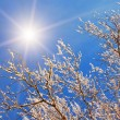 Branches of tree with snow — Stock Photo