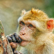 Funny monkey put fingers into mouth — Stock Photo