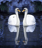 Two white swan on water — Stock Photo