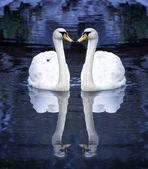 Deux cygnes blancs sur l'eau — Photo